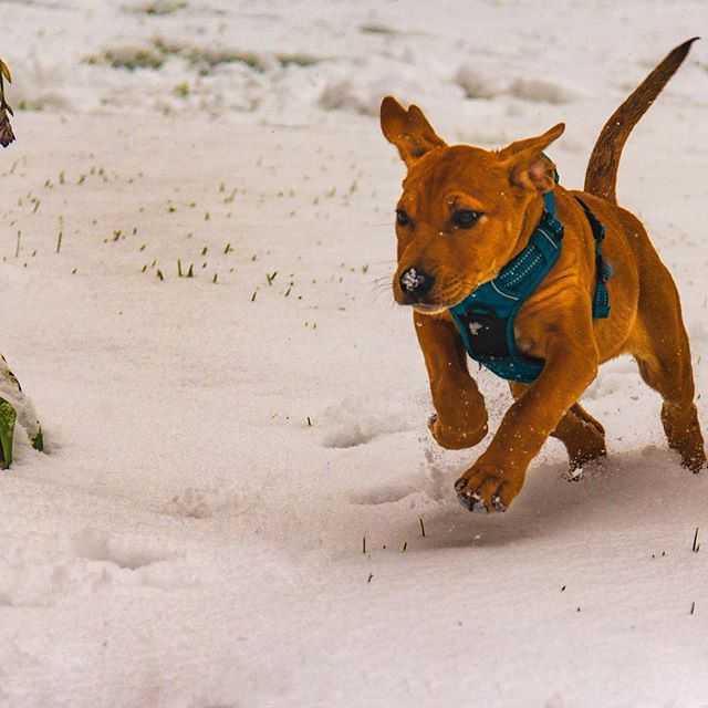 First day for our new pup to play in the snow with her big sisters! #rescuedog #snowday #autumn #photography