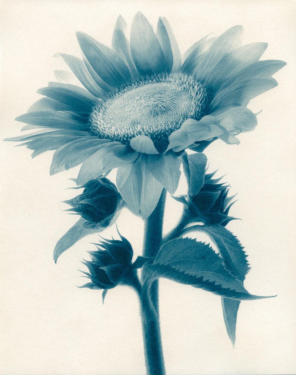 Cyan-Sunflower-1900x1500x72dpi-Sq.jpg