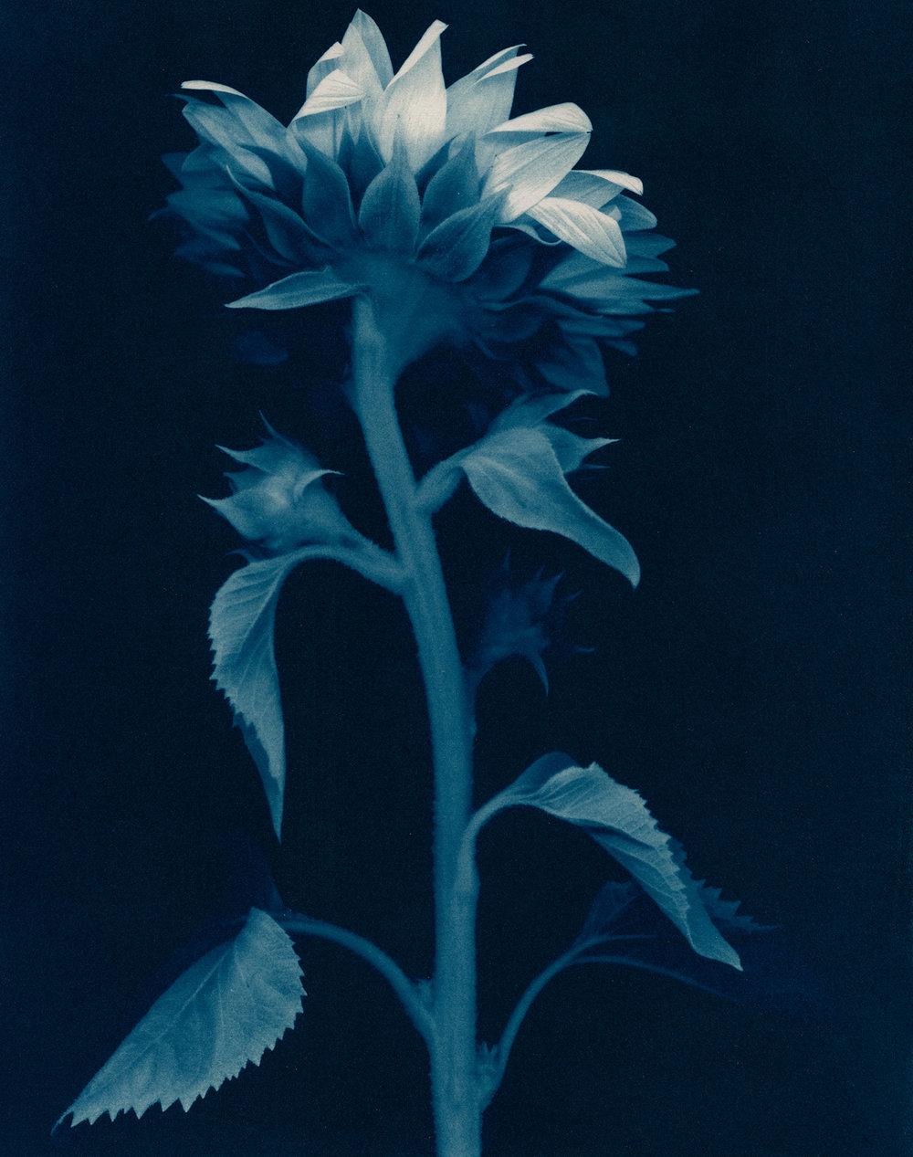 Cyan-Sunflower_back-1900x1500x72dpi-Sq.jpg