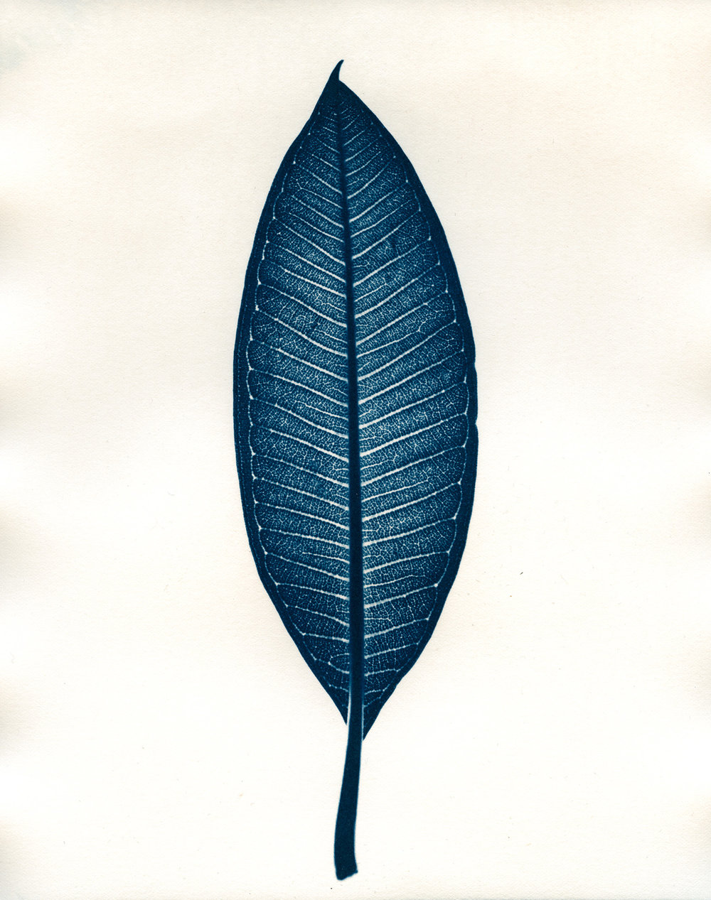 Cyan-Frangipani_Leaf-1900x1500x72dpi-Sq.jpg