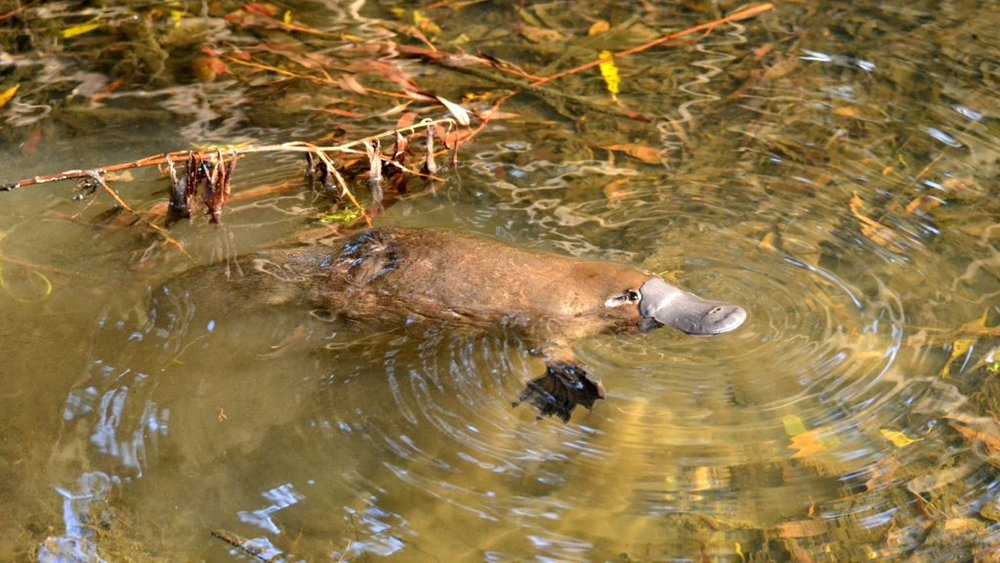 Wild platypus in a creek in Tasmania -  Klaus