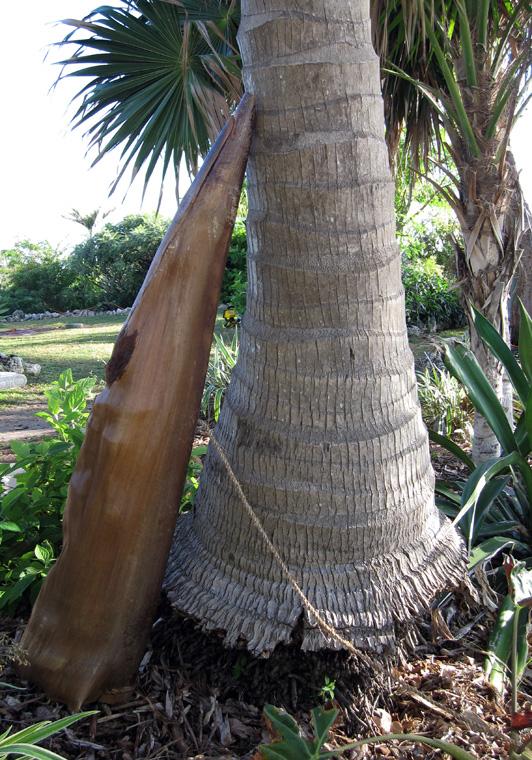 "Shaped Royal Palm sheath with palm fiber, rattan interior armature, thread, resins, oils, 57"" long x 15"" largest diameter."
