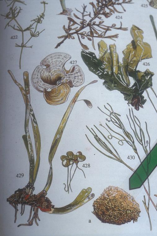 Field guide illustration detail, Martin, Phillippe.  La Nature Méditerranéenne en France, Les melieux, la flore, la faune . Les Écologistes de l'Euzière, 1997, pgs. 188-9.