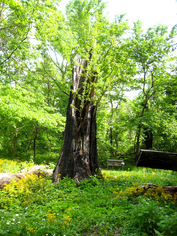 View of Osage Orange sapling growing from red oak trunk, May 2008