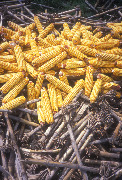 Detail of corn deposited on uprooted corn stalks after ice canoe has melted.