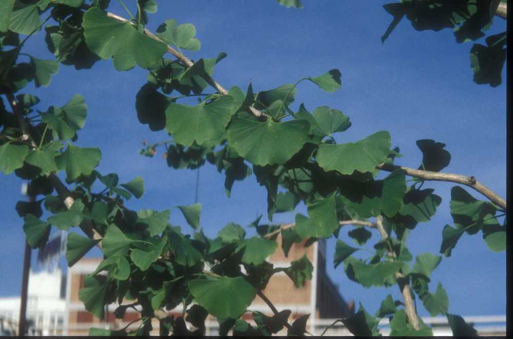 Detail of gingko leaves on young trees planted at site.