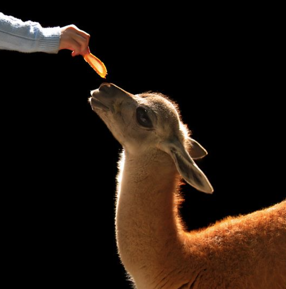 This is a Vicuña… we might get inspired with her kind eyes and gentle flow, to be kind and flow as well