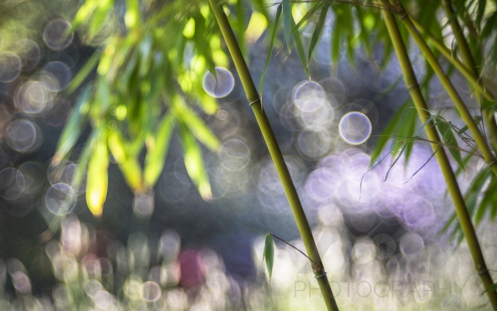Bamboo Bokeh