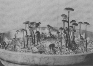 GROWING in Paris, cultures brought back form Mexico by Heim produce mushrooms in his laboratory. These are  Psilocybe mexicana  Heim.
