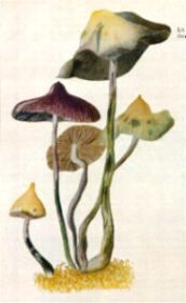 FIRST DISCOVERED in Cuba in June 1904,  Stropharia cubensis  Erale grows on cow dung in pastures.