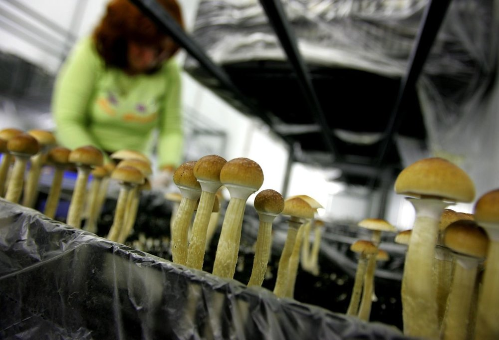 Magic mushrooms, like these ones growing in the Netherlands in 2007, contain the compound psilocybin, which can produce hallucinations and euphoria. Researchers have studied the drug's potential for treating depression.