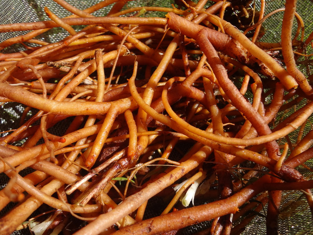 California Poppy Roots