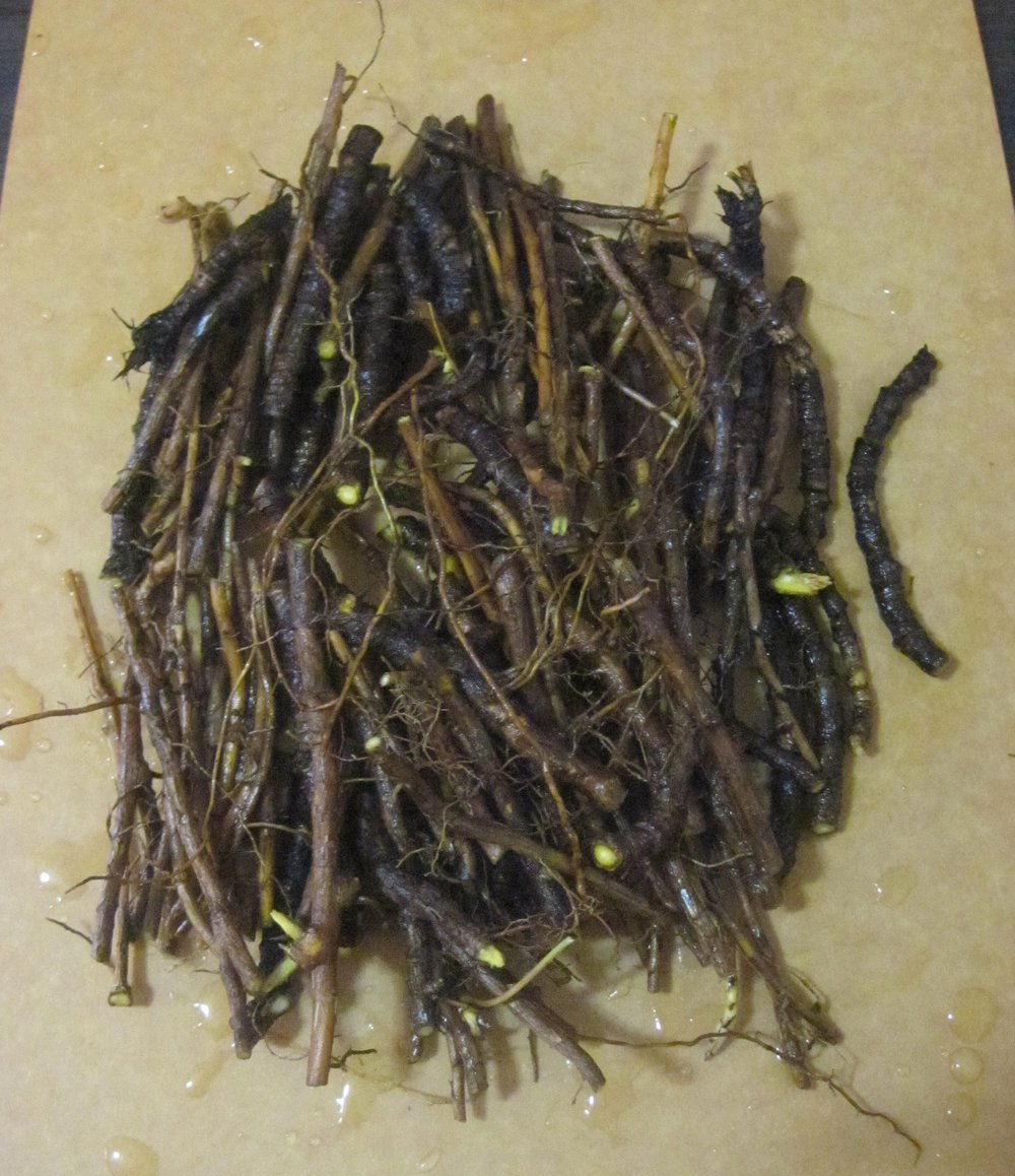Oregon Grape Roots