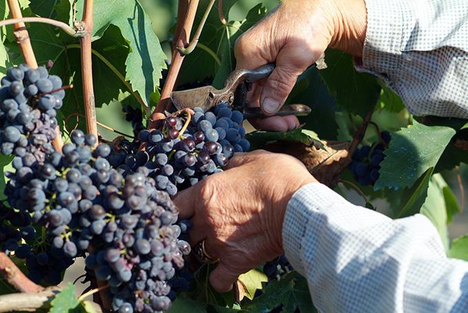 fattoria-poggio-alloro-grapes.jpg