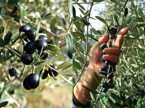 fattoria-poggio-alloro-olive-harvest.jpg