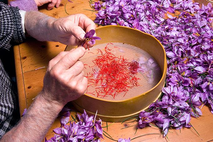 fattoria-poggio-alloro-saffron-harvest.jpg