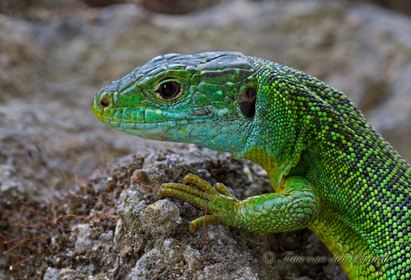 A Smaragd- the green lizard found throughout Austria's vineyard regions