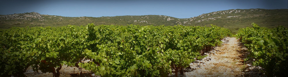 Picpoul vineyards on their sandy-limestone soils.