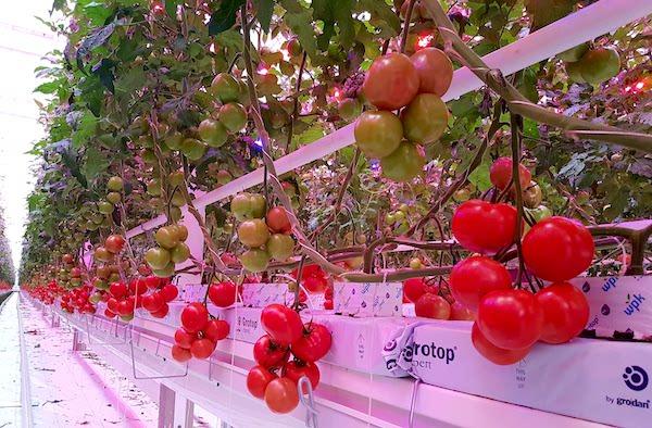 pomodori-fresh-guru-led.jpg