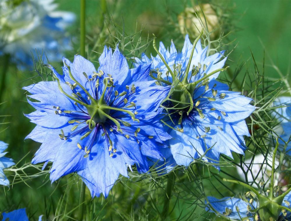 Nigella_Sativa_flower