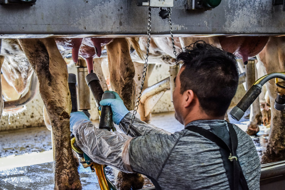 Prácticas Profesionales del verano  - Ag Oasis maneja 12,000 vacas lecheras lactantes a través de tres lecherías en el Sur Oeste de Kansas y el Panhandle de Oklahoma. Las prácticas profesionales en Ag Oasis permiten estudiantes ganar experiencia en varias áreas relacionadas con la producción de leche incluyendo la salud de animales, cuidado de becerros, reproducción, cumplimiento ambiental, etc. Los estudiantes tienen la oportunidad de trabajar junto con una variedad de profesionales de la industria como veterinarios, nutricionistas, científicos ambientales, y técnicos.Prácticas profesionales para estudiantes de posgrado son disponibles a fechas personalizadas. Por favor contáctenos para más información. Conozca más acerca de Dairy Leaders.