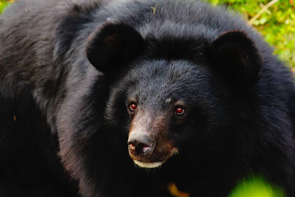 Black bear debunks footprint evidence (not actual black bear)