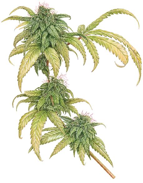 CannabisSativaMargaretBest.png