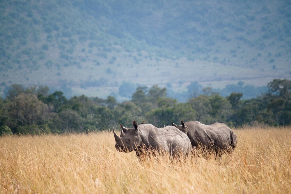 A rare sighting of two pregnant black rhinos, an aunt and her niece.  Photo by Alison Travis .