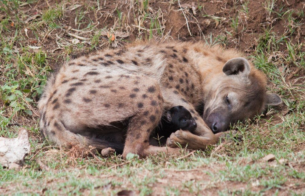 A newborn hyena pup and its mother.  Photo by Alison Travis.