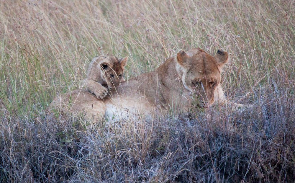 We waited over an hour for a lioness and her three cubs to awaken at dusk.  Photo by Alison Travis .