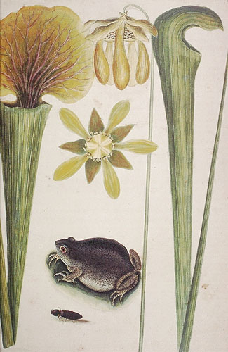 The Land Frog & Sarracena Folios Longloribus RL26020