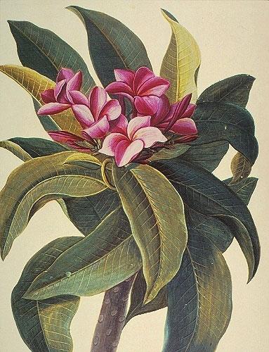 Plumeria Flore Roseo RL26055