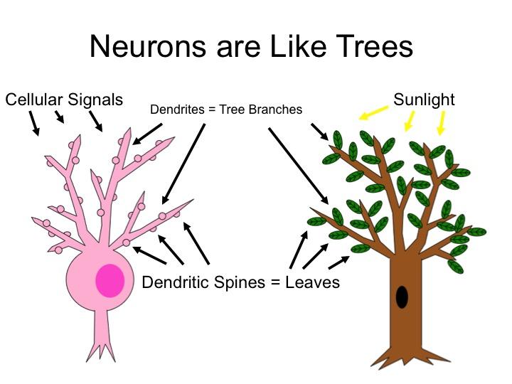 Neurons Like Trees.jpg