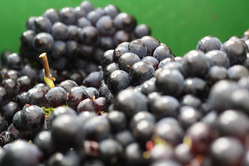 2017 pinot noir grapes.JPG