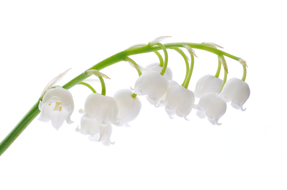 FLOWER - Lily of the Valley
