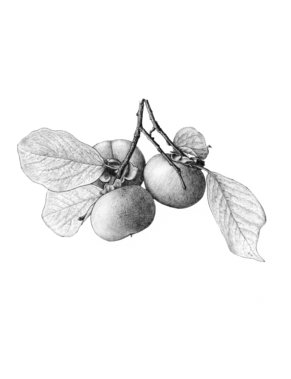 ss.persimmons.png