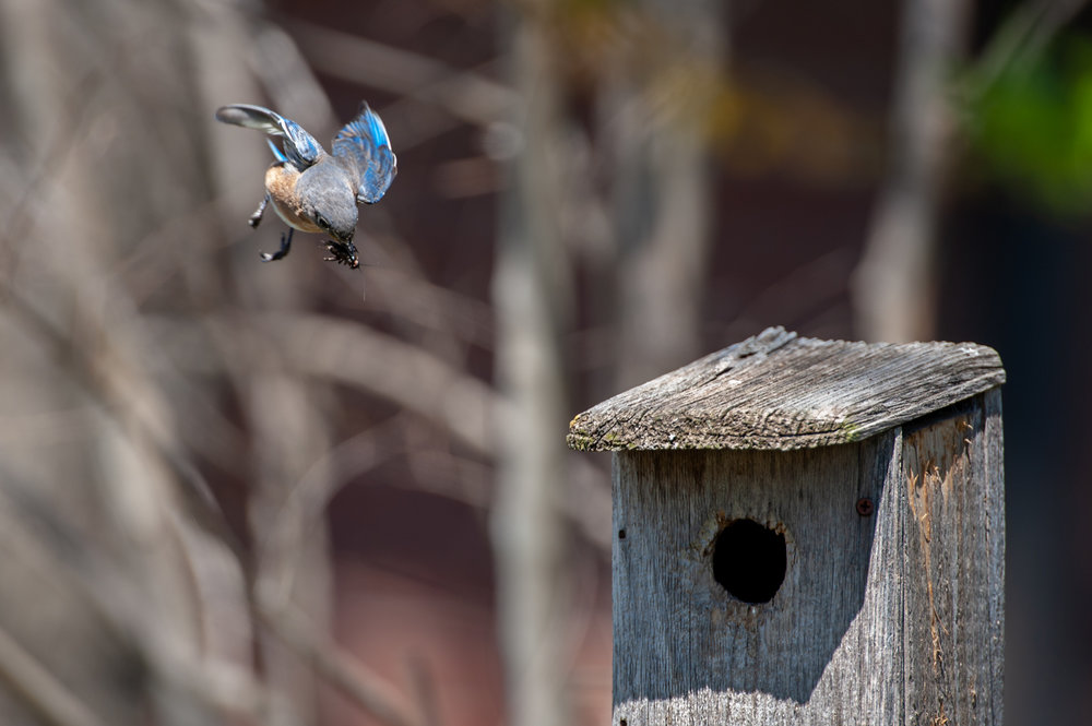 bluebird-with-cricket.jpg