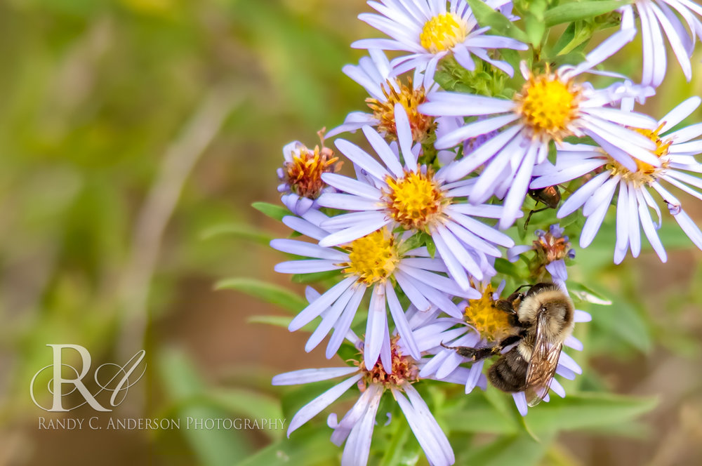 A Digger Bee on Aster. Note the hairy abdomen with a lack of alternating yellow or orange stripes.
