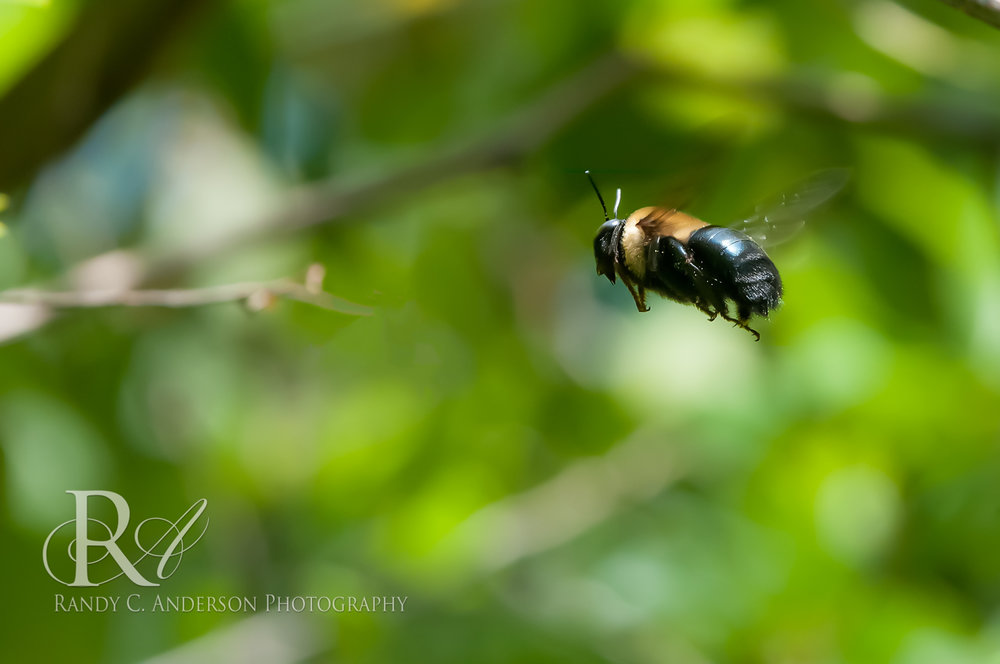 A male Carpenter Bee hovering on patrol. While they aggressively defend their territory, the males lack a stinger and are harmless to humans. They actively chase away other flying insects.