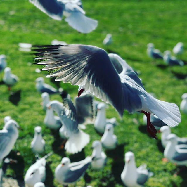 Beauty everywhere you look #seagull #gippsland #phillipisland