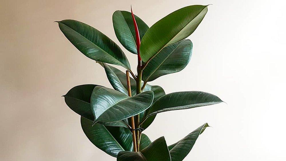 Rubber Plant