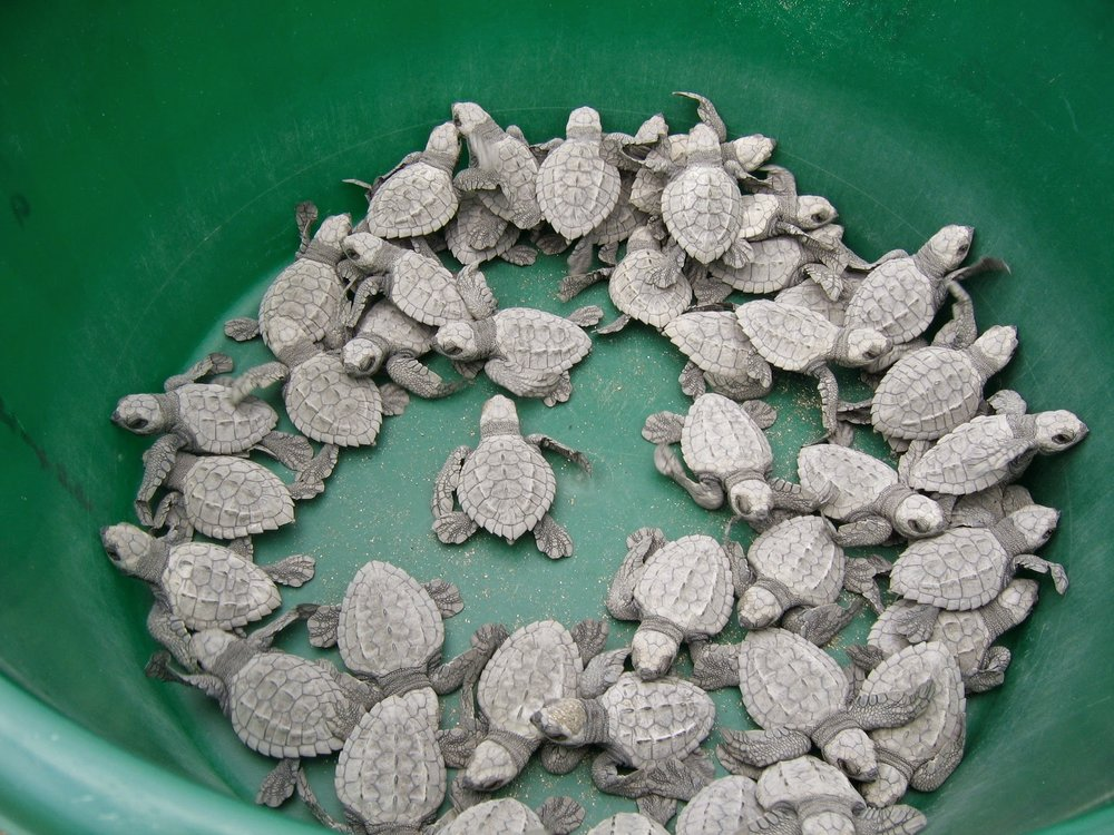 Pretoma, a turtle rescue, is helping to preserve and increase the olive ridley turtle