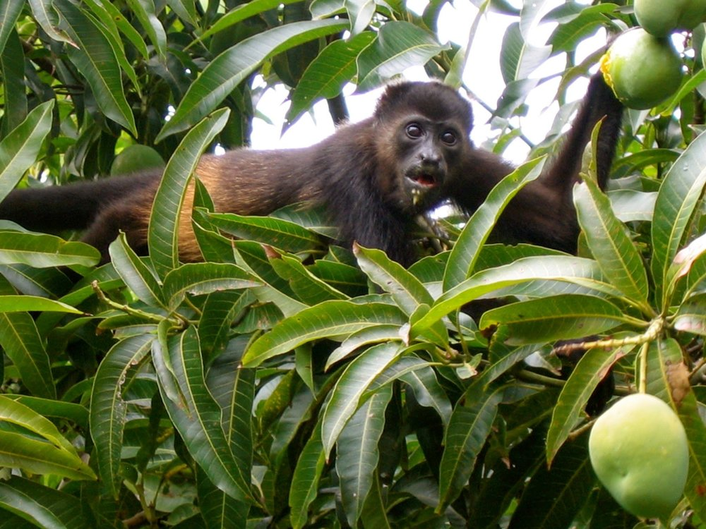A  Howler monkey enjoying a mango from the property.