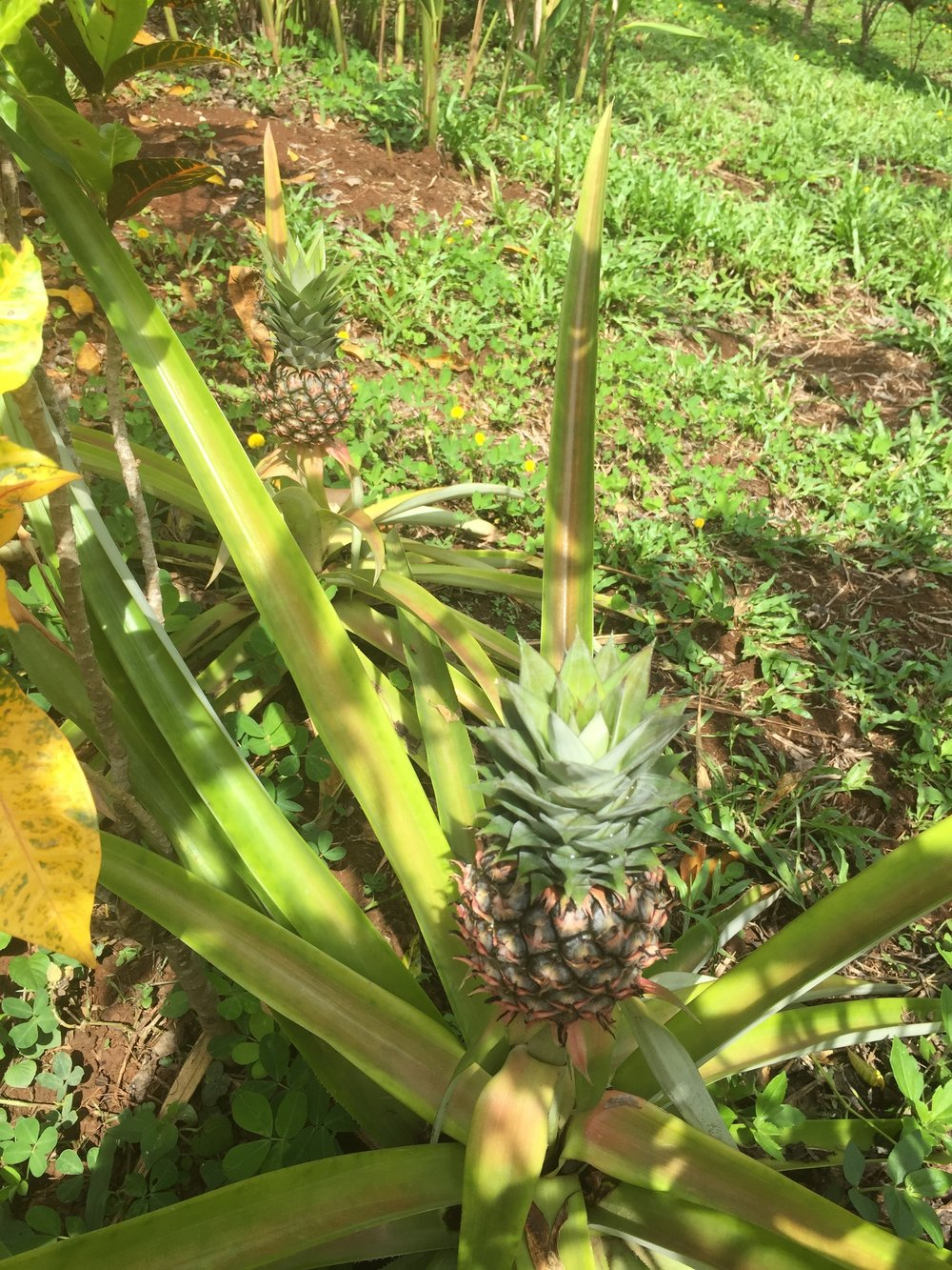Pineapples grown on property
