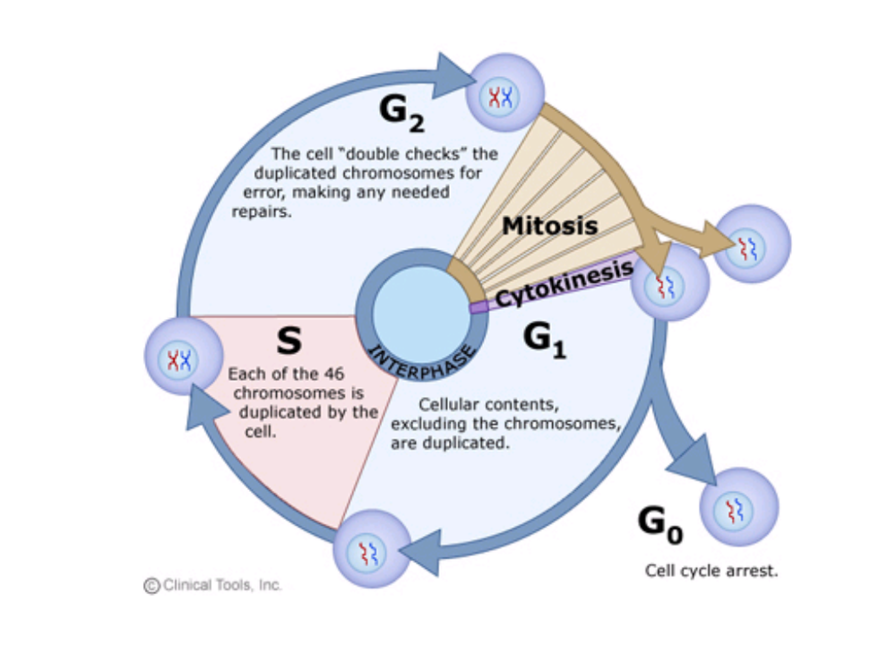 67315-cell_cycle.png