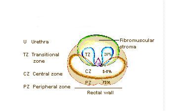 Prostate Zones.jpg