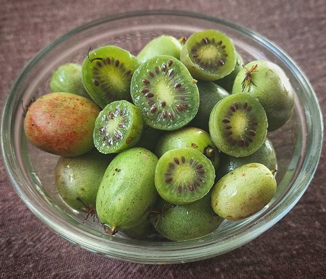 If you are looking for an addictive and flavorful snack, look no further! Kiwi berries are in season! It's like eating a miniature grape sized kiwi except without the need to peel any fuzzy skin! They are packed with antioxidants and more vitamin C and fibre than an orange! Look for them throughout the month of October when they are in season!  #kiwiberry #kiwiberries #bitesized #snack #nutritious #antioxidants #vitaminc #antiinflammatory #plantbaseddiet #fruit