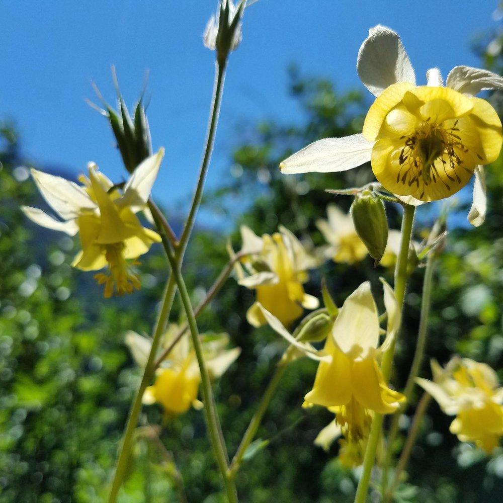 Yellow Columbine  -Aquilegia  flavescens,  a favorite summer wildflower of mine, found in lower alpine regions; Yellowstone NP .