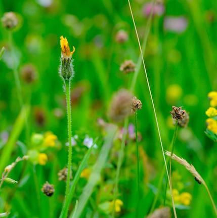 Haymeadow%20flower%203.jpg