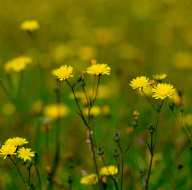 Haymeadow%20flower%205.jpg